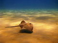 Mediterranean stingray hovers over the sandy bottom of Laganas beach, Zakynthos, Greece; canon 720is + red filter
