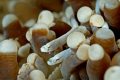 mushroom coral pipe fish...canon EOS 400D, Sea and Sea housing and Strobes...