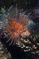Lionfish...ari atoll