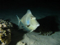 Unicorn fish during a night dive on the Southern house reef in Marsa Shagra Village, Egypt; Canon 720is, Inon Z240