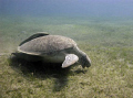 Sea turtle feasting on a field of sea grass in Abu Dabbab, Egypt; Canon 720is