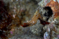 please help for ID of this shrimp...taken at Laha, Ambon, Indonesia. Canon EOS 400D with Sea and Sea housing and strobes