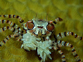 What are you looking at? wanna fight? The greatest boxer crab! But sometimes i can cheer you up too :)