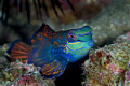 the gorgeous mandarin fish...Canon EOS 400D, Sea and Sea housing and strobes