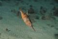 pesci trombetta/fotografati ad Archi, una delle tante immersioni che si possono effettuare a Reggio Calabria. I trombetta sono stati fotografati ad una profondità di metri 12 circa.