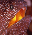 Starry Moray Close Up