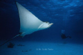 Encounter of Spotted Eagle Ray at end of dive on the way to the dive boat; Kleine Bonaire