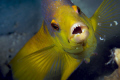 This Spanish Hogfish wanted me to back up.  Taken with a 100 mm macro lens on a Canon 40D in an Ikelite housing and Ikelite strobes.