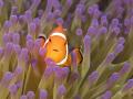 Anemone fish ~ Raja Ampat
