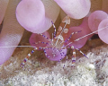 Caught this Spotted Cleaner Shrimp in a purple anemone at the Salt Pier in Bonaire with a Canon 5D, 100mm Macro lens