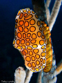 Flamingo Tongue. Taken in December in Roatan.