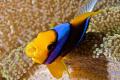 Angry anemonefish