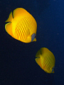 A pair of Masked Butterflyfish.
