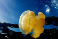 Jellyfish basking in the sun. Jellyfish lake Palau.