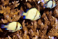 Perfect alignment of three damselfish.