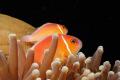 Anemone Fish inside Anemone.
