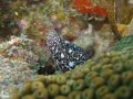 Spotted Moray eel Taking a sneak peek at the visiting alien from above.