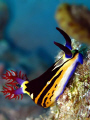 red sea nembrotha