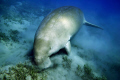 My first dive at Abu Dabab and my first dugong. Something I'll never forget...