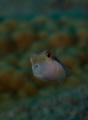 Juvie Boxfish