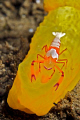 An Emperor shrimp riding a Gymnodoris.