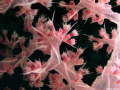 Soft Coral Close up.