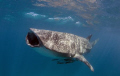 Feed Me!! A 6m male whaleshark feeding off ningaloo reef 2010