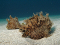 A pair of Striated Frog Fish
