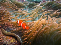 Spinecheek Anemonefish (Amphiprion biaculatus) living in a Bulb Anemone (Entacmaea quadricolor).