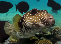 Zippy the Pufferfish.  Taken in Kona, Hawaii