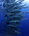 I have always dreamed of diving with a large school of barracuda and on my last hol to Sudan I got the chance on a number of occaisions. It deffo lived up to expectations !!