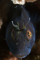 Blenny portrait off the coast of S. Carolina on the wreck of 
