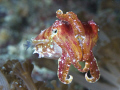 Glowing baby cuttlefish shot in Raj Ampat 60mm