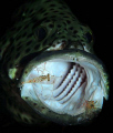 The grouper opens the mouth with the signal. He is like as if he is hynotized by the shrimps