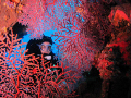 Near the bow gun on the Fujikawa Maru, I found this beautiful coral so I asked my buddy to swim to the other side and look back. Canon ixus 100 and single inon d2000 strobe.