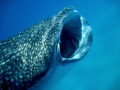 Whale Shark at Whale Shark Alley