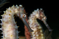 Two Thorny seahorses posing in a very similar way.