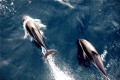 Dolphins playing on bow wave in the Southern Ocean.