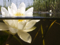 I made some pipes on my underwaterhousing to make half/half pictures. Ofcourse I have to test it close to my home with these water lily.