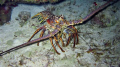 20+ pound spiny lobster on night dive