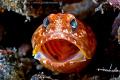 Jawfish Yawn