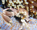 Anemone crab
