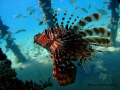 Lion Fish under jetty in Nuweiba. Rried to capture the light reflecting through the jetty onto the subjects face