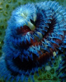 Close up macro shot of a Blue and Red Xmas tree worm taken in Nuweiba. Wanted to show the structure and trunk of the worm