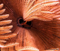 Feather Star Close up