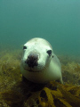 We dived with a group of gorgeous sealions at Jurien Bay, north of Perth, Western Australia.  This female liked looking at herself in the port and kept biting my fins.
