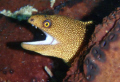 Golden eye moray