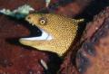 Golden eye moray