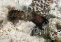 Sailfin Blennies, fighting on a shallow sand patch, Utila Bay Islands Honduras