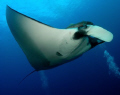 Friendly Pacific Manta @ San Benedicto Island, Revillagigedos